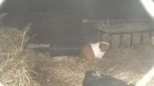 Guinea Pigs at Gypsy Wood Park