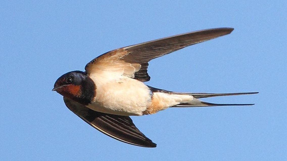 Swallow photos 21