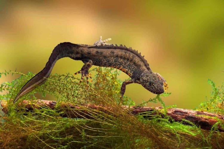 swimming newt